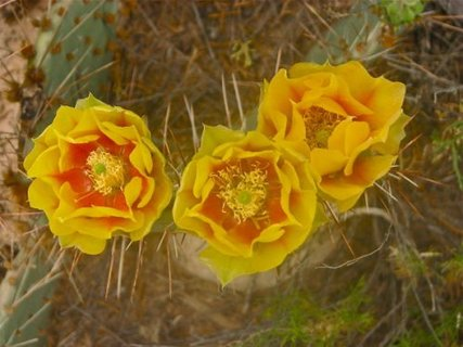 Spring Flowers in Mesa Verde