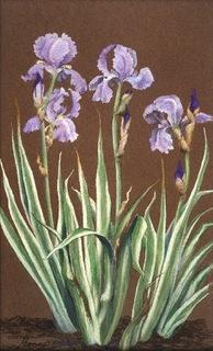 Varigated Iris